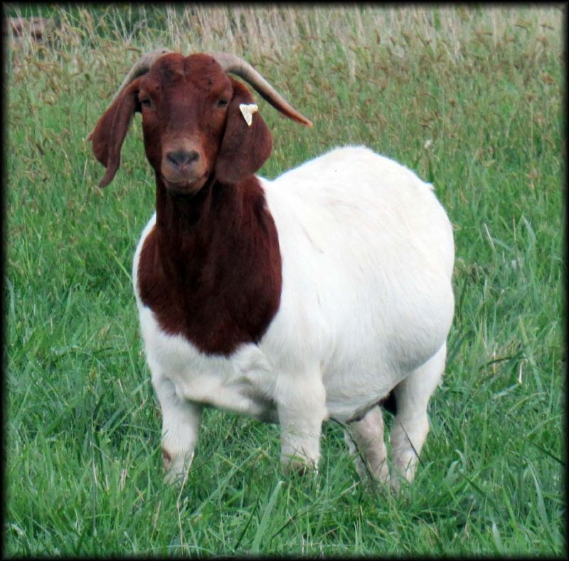 Boer Goats For Sale In Iowa From Trickman Boer Goats