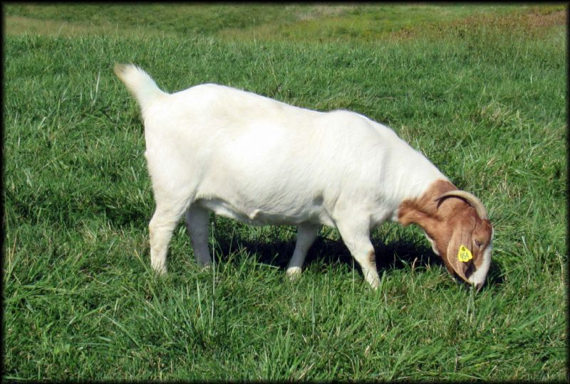 Bear Creek BC F954 Destiny's Karma - Boer Goat Doe